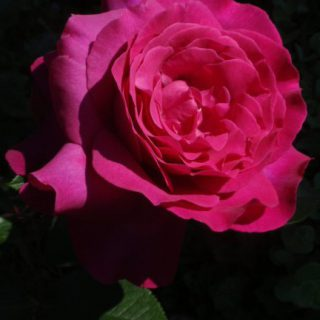 Rose Big Purple ® / Rosa Big Purple ®