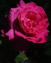 Rose Big Purple ®