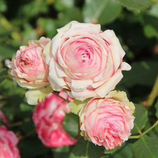 Edelrose 'First Lady'  -R- / Rosa 'First Lady'  -R-                  TH