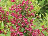 Weigelie Ruby Queen®, Weigela florida Ruby Queen