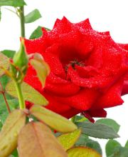 Edelrose Super Star ®