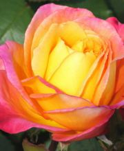Edelrose Sutters Gold, Rosa Sutters Gold