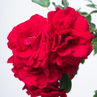 Rose Tradition 95 ® / Rosa Tradition 95 ®