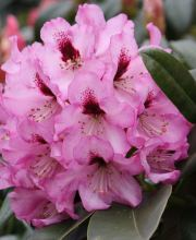 Rhododendron Caramba, Rhododendron Hybride Caramba