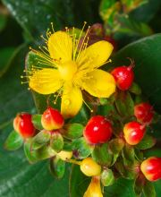 Johanneskraut Magical Sunshine, Hypericum inodorum Magical Sunshine