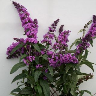 Sommerflieder Boskoop Beauty / Buddleja davidii Boskoop Beauty