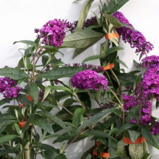 Sommerflieder Royal Purple / Buddleja davidii Royal Purple
