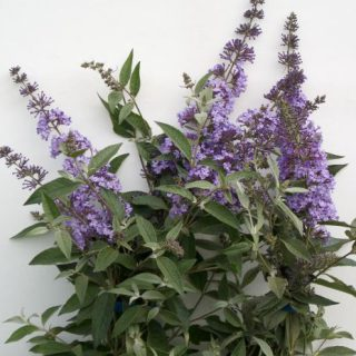Sommerflieder Summerhouse Blue / Buddleja davidii Summerhouse Blue