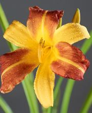 Garten-Taglilie Autumn Red, Hemerocallis Autumn Red