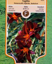 Garten-Taglilie Red Rum, Hemerocallis Red Rum