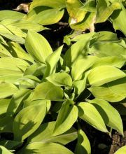Garten-Funkie Gold Edger, Hosta x cult. Gold Edger
