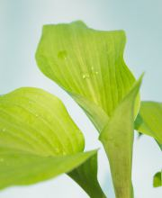 Funkie Sum and Substance, Hosta cultorum Sum and Substance