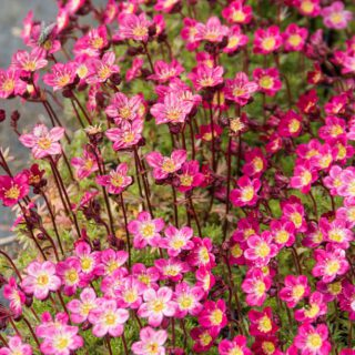 Moos Steinbrech Red Cap / Saxifraga arendsii Red Cap