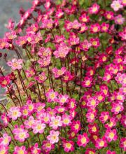 Moos Steinbrech Red Cap, Saxifraga arendsii Red Cap
