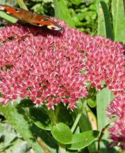 Garten-Fettblatt Autumn Joy, Sedum telephium Autumn Joy