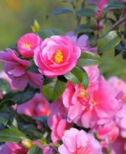 Kamelie Mary Williams, Camellia Mary Williams