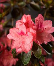 Rhododendron Blaauw`s Pink