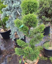 Leyland -Zypresse Bonsai, Cupressocyparis leylandii Bonsai-Form