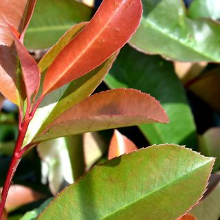 Photinia Red Robin, Aufnahme: August