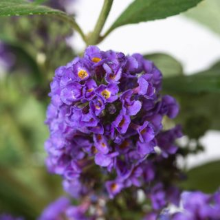 Sommerflieder Blue Chip / Buddleja Blue Chip