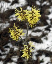 Zaubernuss Angelly, Hamamelis intermedia Angelly