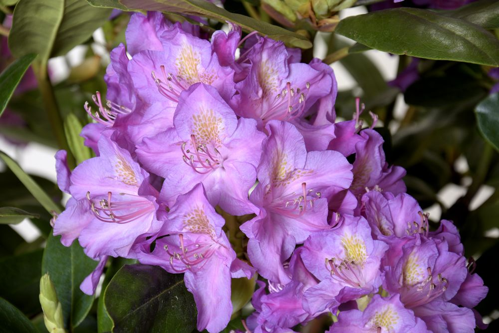 Rhododendron Hybride Pink Purple Dream