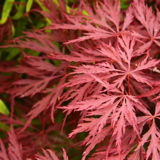 Fächerahorn Crimson Princess / Acer palmtum Crimson Princess