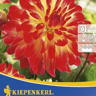 Beet-Dahlie Sights of Summer / Kiepenkerl Dahlia-Hybriden