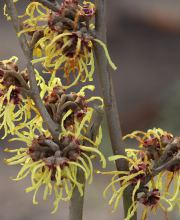 Zaubernuss Advent, Hamamelis intermedialis Advent