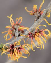 Zaubernuss Robert, Hamamelis intermedia Robert