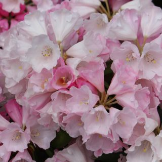 Rhododendron Chinese Silver / Rhododendron argyrophyllum Chinese Silver