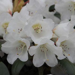 Rhododendron Volce / Rhododendron bureavii Volce