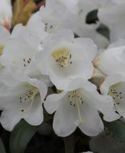 Rhododendron Volce, Rhododendron bureavii Volce