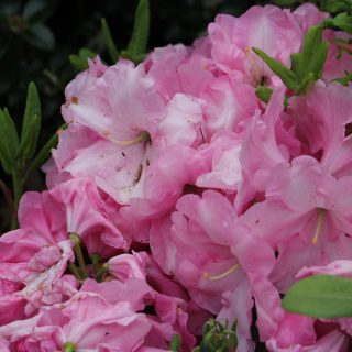 Rhododendron Rosa Wunder / Rhododendron williams. Rosa Wunder