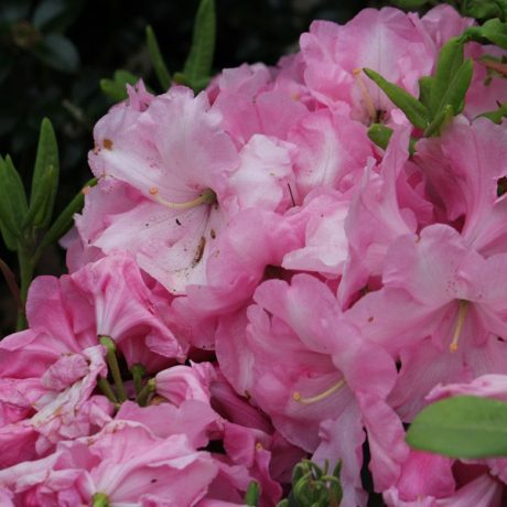 Rhododendron Rosa Wunder