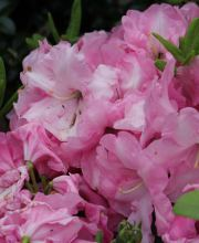 Rhododendron Rosa Wunder, Rhododendron williams. Rosa Wunder