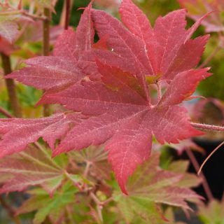 Fächerahorn Korean Gem / Acer palmatum Korean Gem