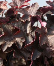 Purpurglöckchen Molly Bush, Heuchera americana Molly Bush