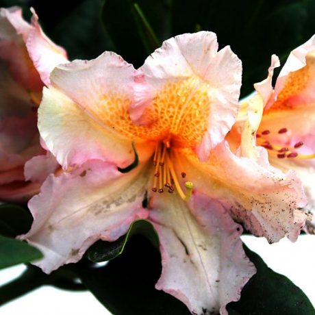 Rhododendron Norfolk Candy / Rhododendron Hybride Norfolk Candy