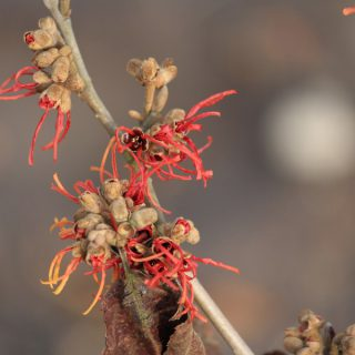 Zaubernuss Twilight / Hamamelis intermedia Twilight