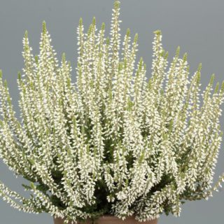 Gardengirls® Winterharte Knospenheide Bettina / Calluna vulgaris Bettina