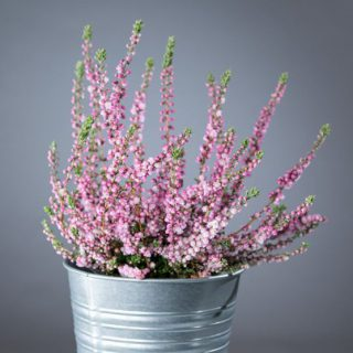 Besenheide Red Star / Calluna vulgaris Red Star