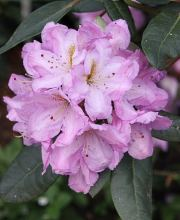 Rhododendron Lavender Princess