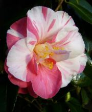 Kamelie Paul Jones Supreme, Camellia japonica Paul Jones Supreme