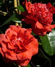 Kamelie Ruby Wedding, Camellia japonica Ruby Wedding