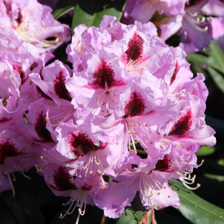 Rhododendron  Alexis