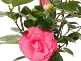 Kamelie Rubescens Major, Camellia japonica Rubescens Major