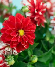Garten Dahlie Lubega Power Red White, Dahlia Lubega Power Red White
