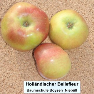 Hollands Bellefleur Winterapfel / Malus Hollands Bellefleur