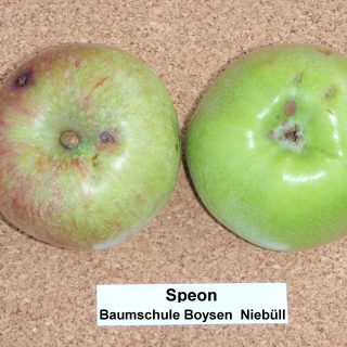 Speon Winterapfel / Malus Speon